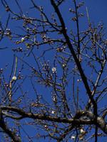 大倉山公園梅林の梅の木